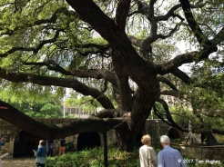 Alamo Courtyard Oak